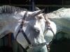 horse_nuzzel