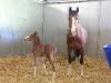 mare_foal